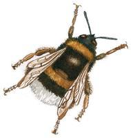 bourdon Lien vers: http://www.terrevivante.org/240-insectes-auxiliaires-les-allies-du-jardinier.htm