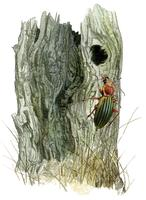carabe Lien vers: http://www.terrevivante.org/240-insectes-auxiliaires-les-allies-du-jardinier.htm