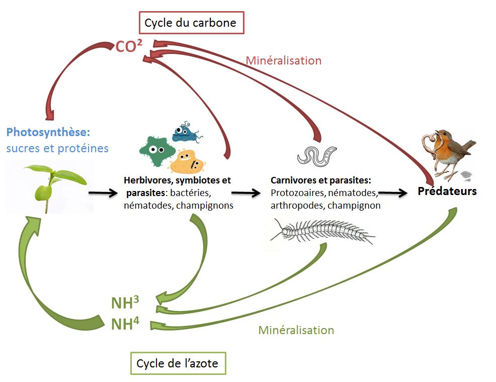 Figure 11: Cycle du carbone et de l'azote simplifié
